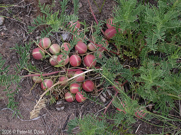 Ground Plum