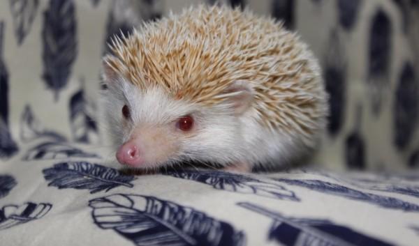 Zuzu (Male)