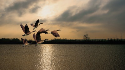 Wild geese flying into the sunrise and not the moon