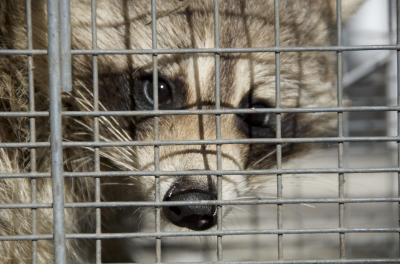 Raccoon Trapping in Montgomery County, PA.