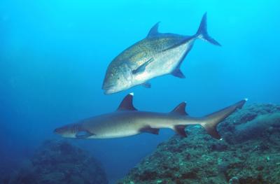 "<img src=""verzeichnis/abbildung.jpg"" alt=""sharks and bid fishes isla coiba"">"