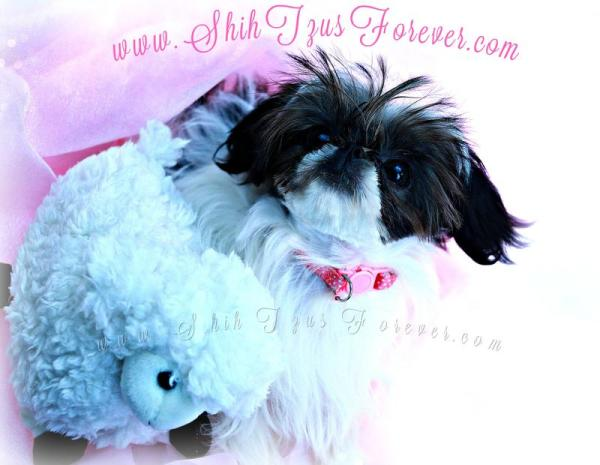 Imperial Shih Tzu puppies for sale, Shihtzusforever, Imperial Shih Tzus for sale
