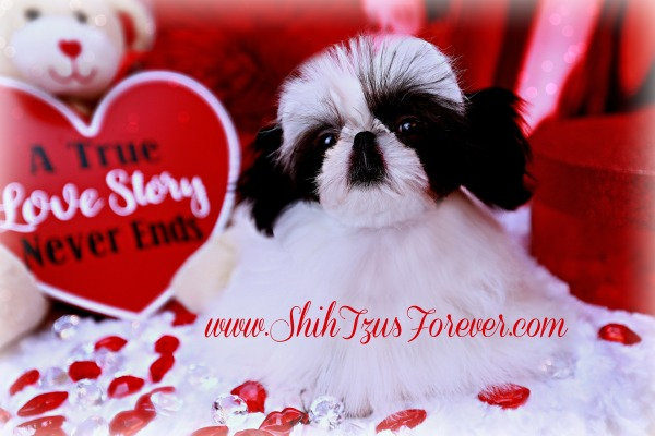 Imperial Shih Tzus for sale, Imperial Shih Tzu puppies, Imperial Shih Tzu