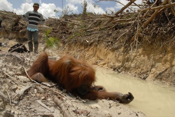 Distressed orangutan