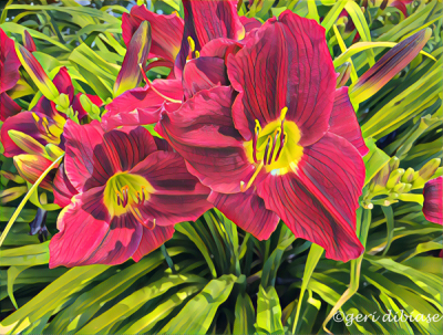 Day Lilies Abound