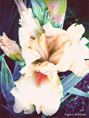 Parchment Iris