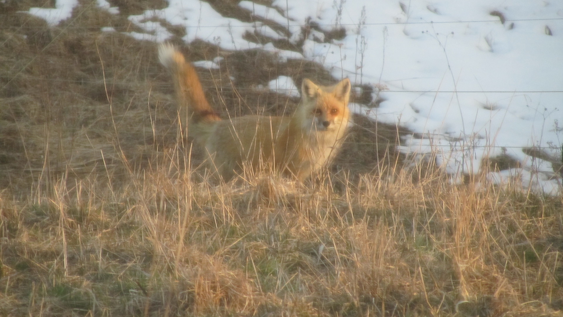 Friendly Red Fox