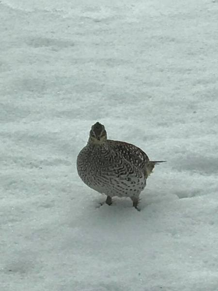 Sharptail Grouse Visiting Homes