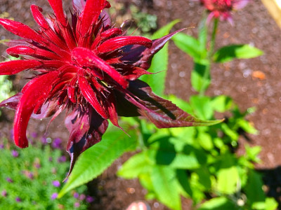 Red bee balm bloom in the garden at the BLUE WHALE INN.