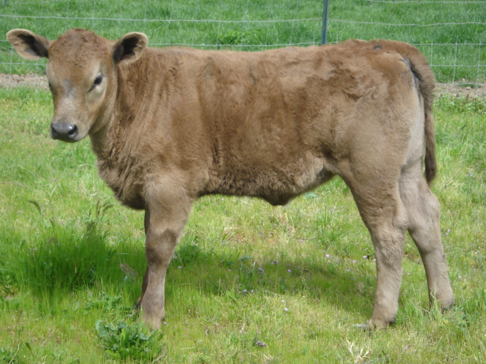 50% Murray Grey Heifer out of JB Boulder