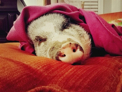DIY:  A Bed for Paisley Piggles