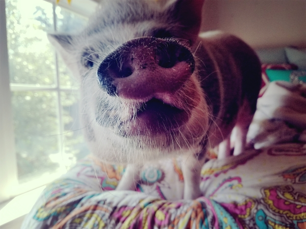 #paisleypiggles @lovejamiegirl #minipig #pigmama