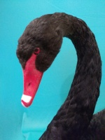 Black Swan taxidermy, Close up of head and neck