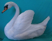 white mute swan taxidermy with wings fluffed up, side view