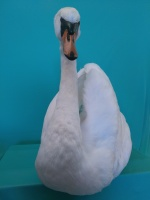 white mute swan taxidermy with wings fluffed up