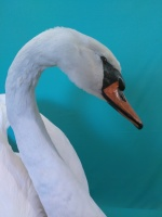 white mute swan taxidermy
