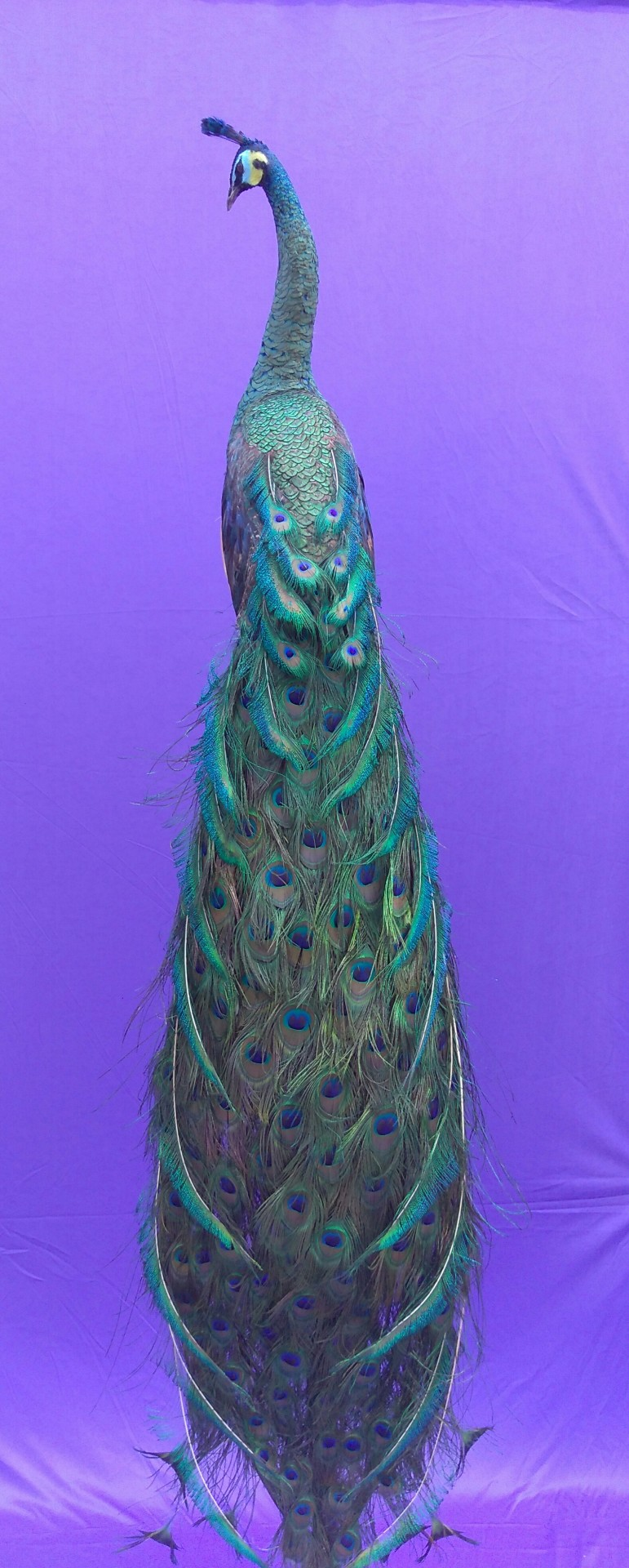 emerald green peacock taxidermy bird mount, java green hybrid, spaulding peacock with detachable tail