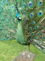 Strutting Emerald Green Peacock taxidermy, front left