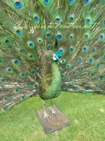 Strutting Emerald Green Peacock taxidermy,  front right