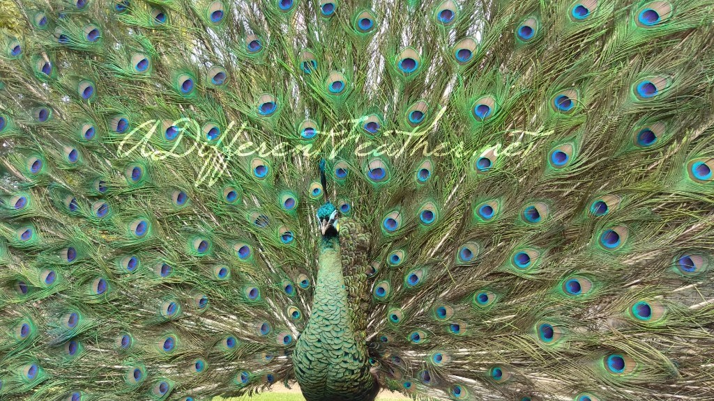 strutting emerald green peacock taxidermy close up