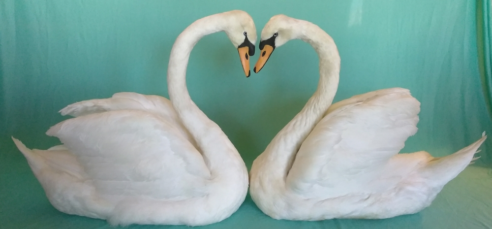 mute swan taxidermy for weddings and home