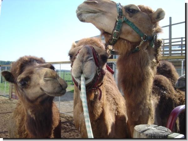 Camel Antics