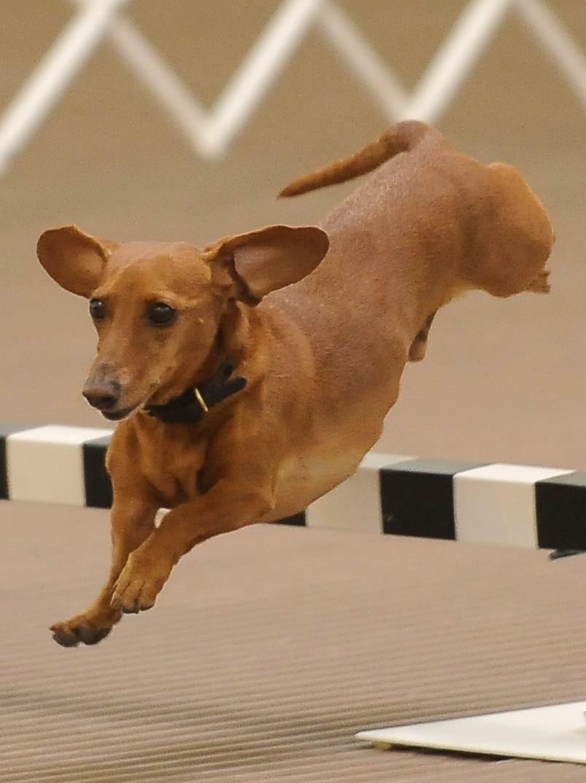 Ripley dog jumping