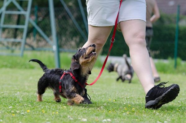 Dog Training loose leash walking, no barking, no lunging