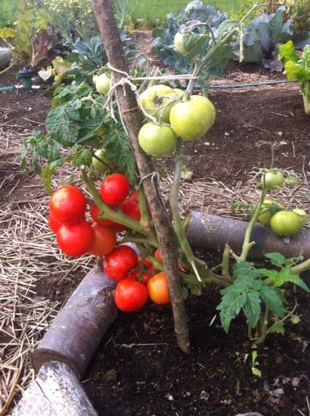 First crops