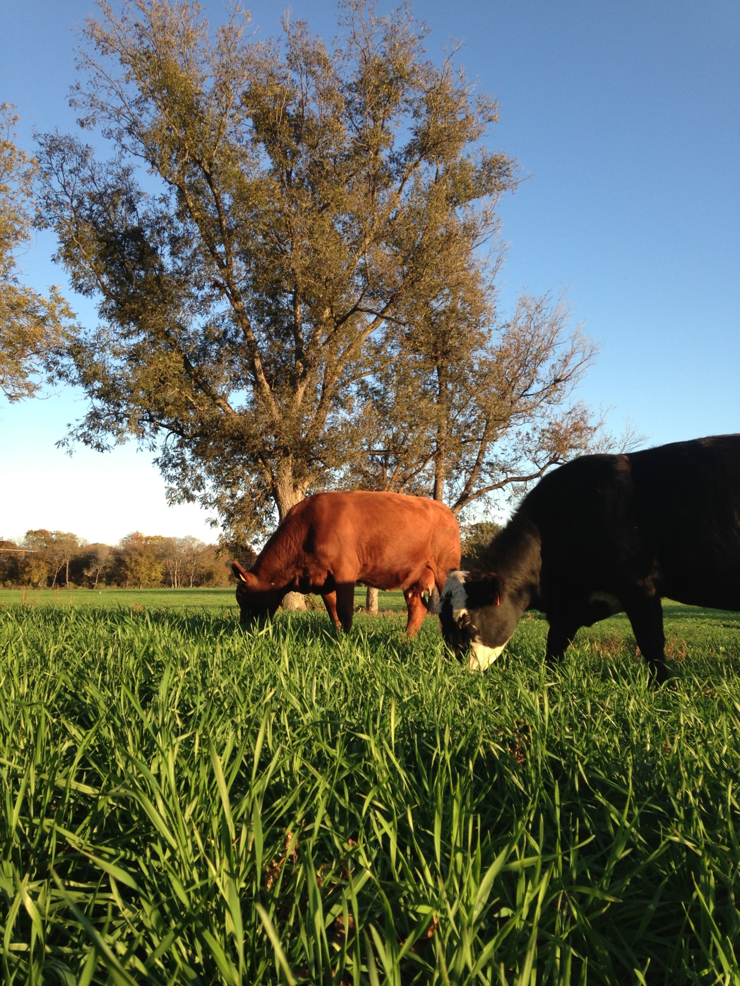 Muenster Grass Fed Cows Grazing Lush Pasture