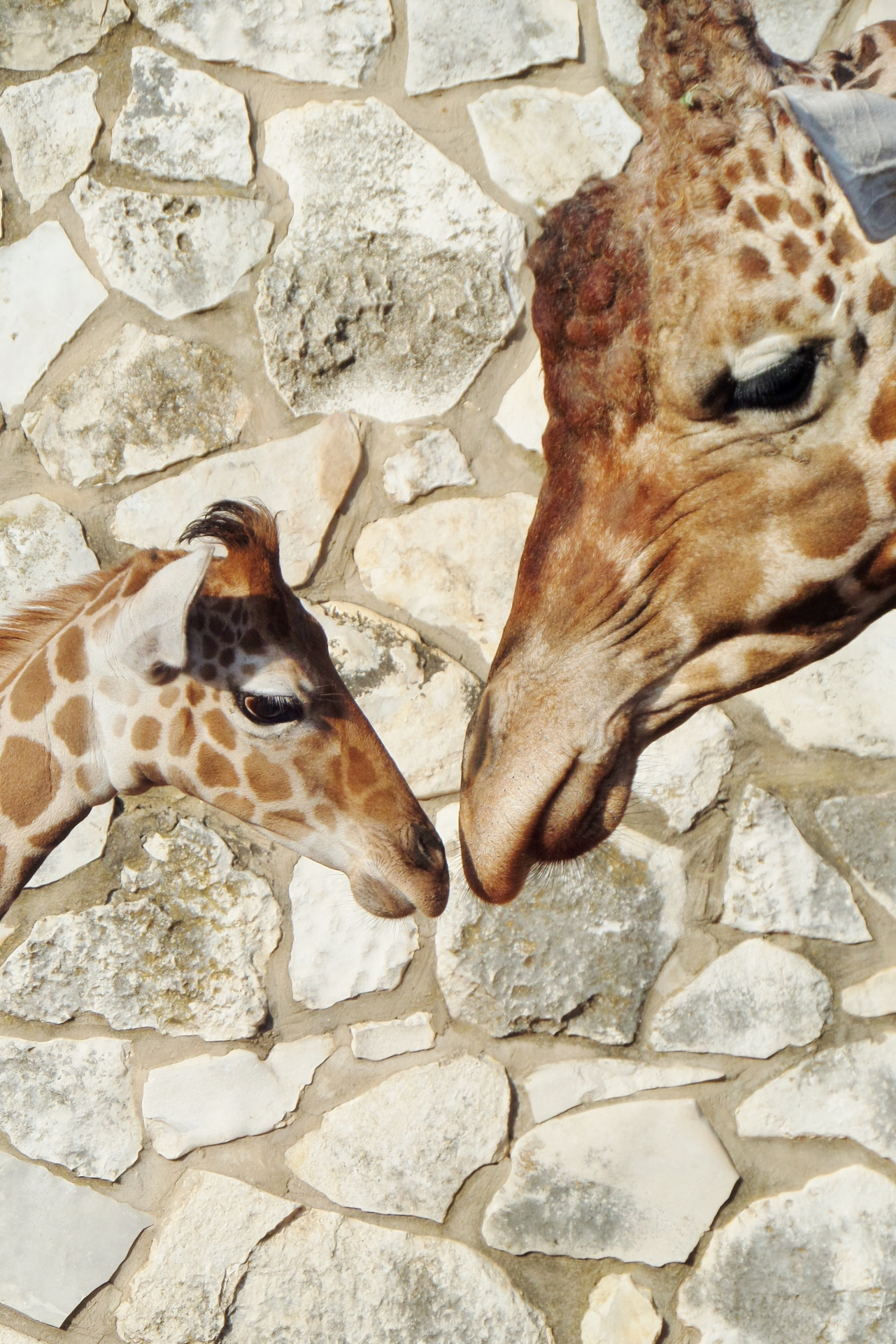 New Giraffe Births