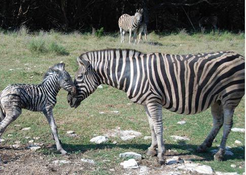 Damaraland Zebra