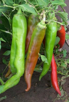 NUMEX BIG JIM CHILLI PEPPER