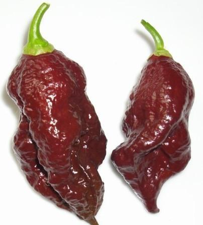 CHOCOLATE BHUT JOLOKIA - GHOST PEPPER - CHILLI PEPPER - CAPSICUM CHINENSE - EXTREMELY HOT