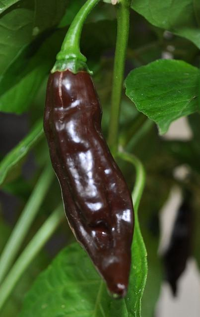 CHOCOLATE FATALII PEPPER - CHILLI PEPPER