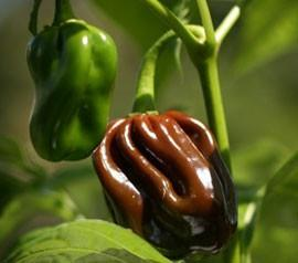CHOCOLATE HABANERO - CONGO BLACK PEPPER