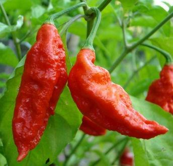 GHOST PEPPER - BHUT JOLOKIA CHILLI PEPPER