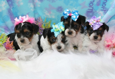 Small AKC Parti Yorkie Puppy For Sale | Colorado | Call Now!