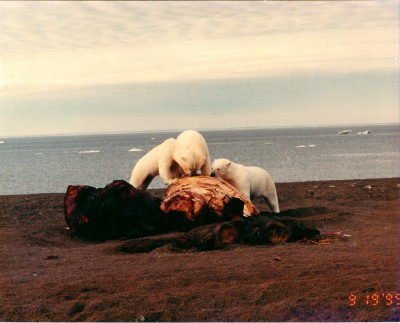 Be a Polar Bear...  not a Whale Head