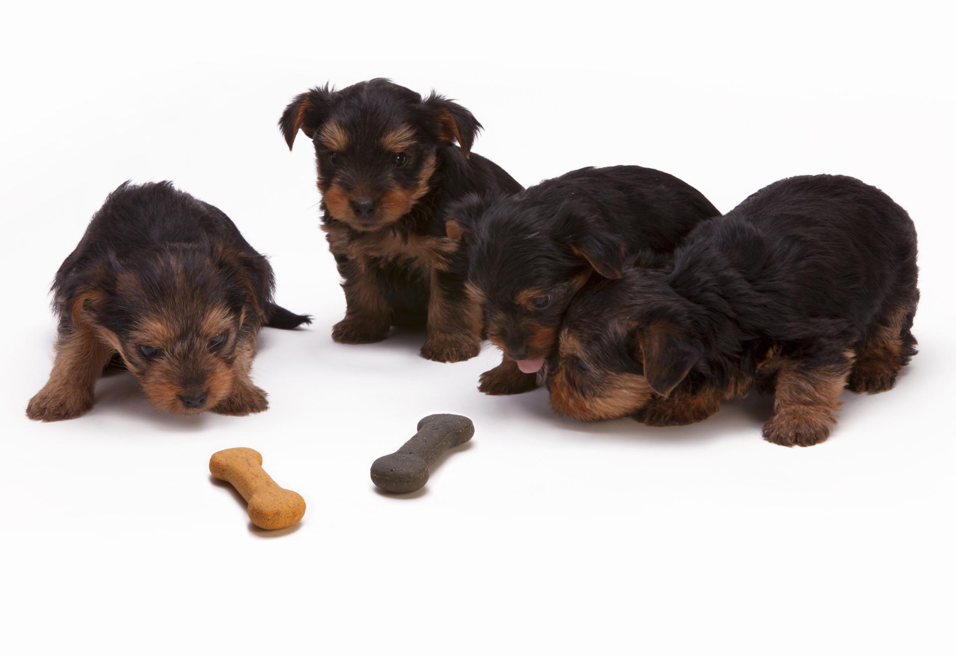 puppies eyeballing a dog treat