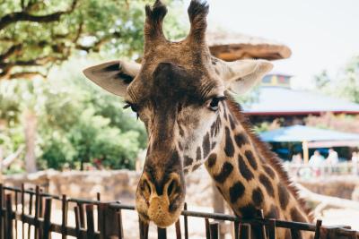 We need a pregnant giraffe! Or do we?