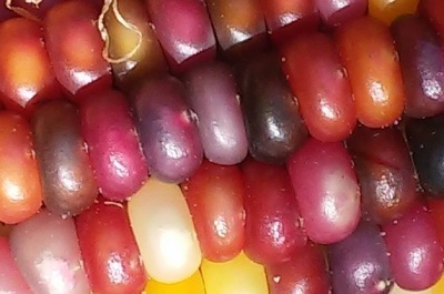 Multi-Colored Corn