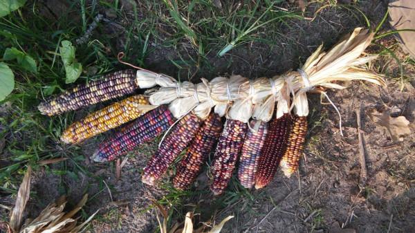 Corn Wing