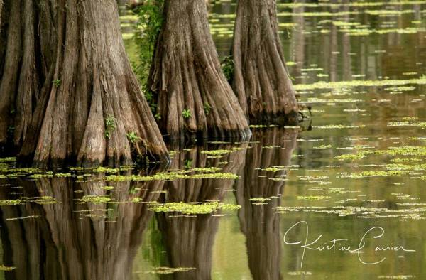reflections of Cypress trees in lake bistineau