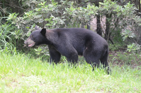 Bear sightings reported around county