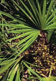 Photo of saw palmetto berries