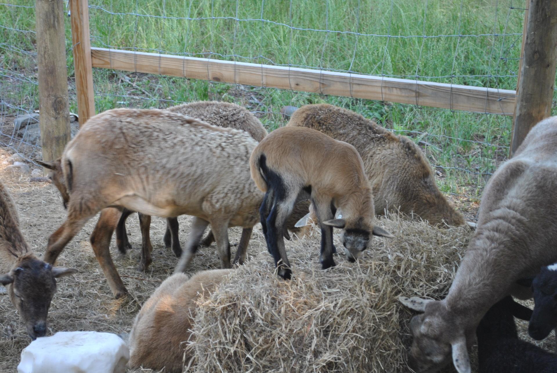 Sheep love Hay