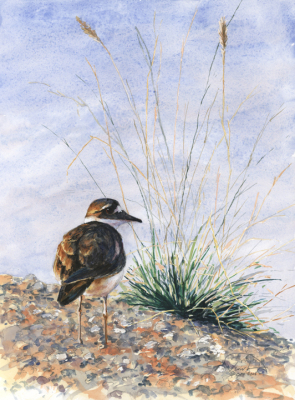 Killdeer on Riverbank