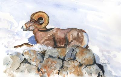 Bighorn Study