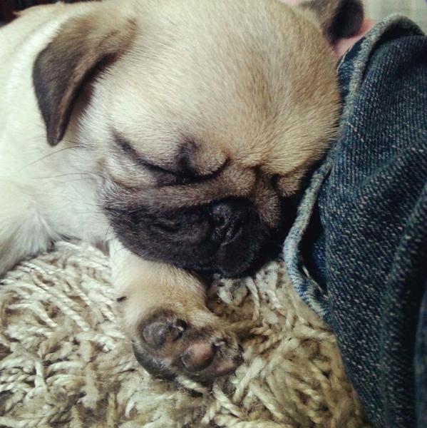 Another sleeping pug